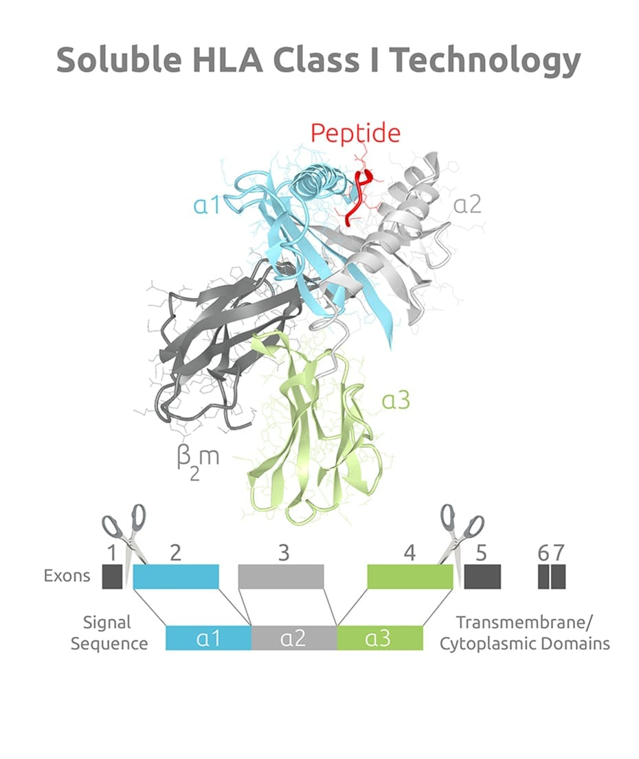 3D mode of soluble HLA Class I